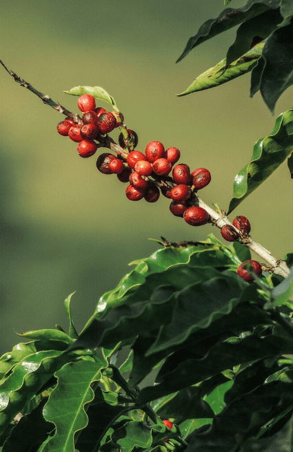 how coffee is made - blooming coffee plant