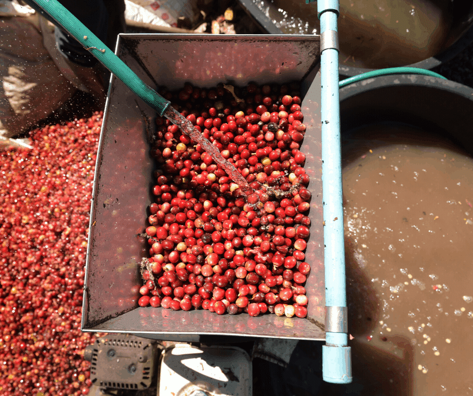 how coffee is made - fermenting the coffee beans in the wet processing method