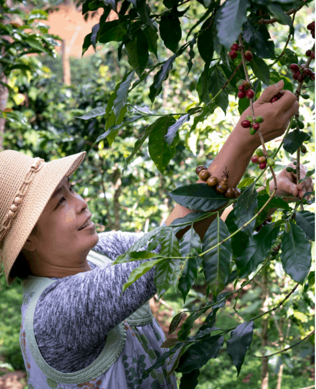 harvesting the coffee cherries