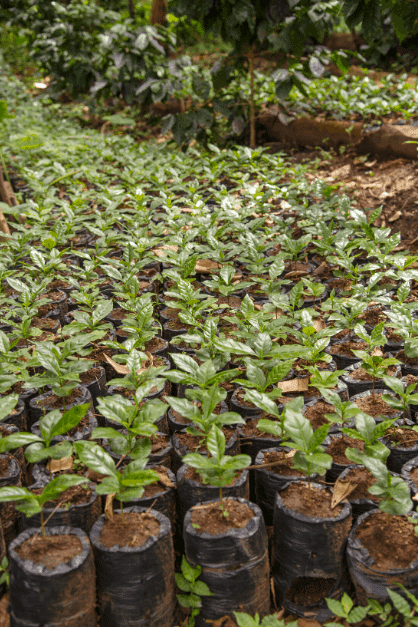 young coffee plants in nursery
